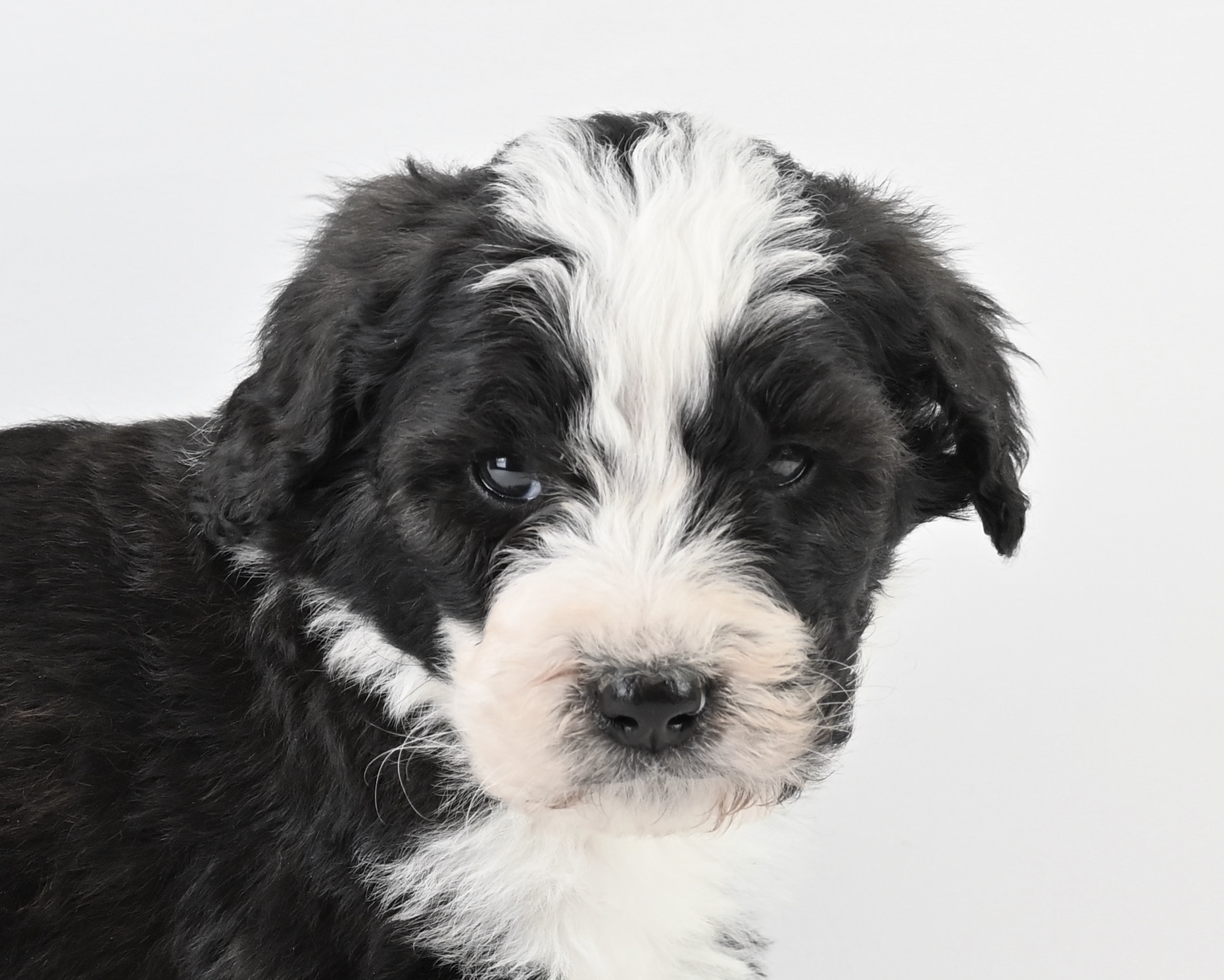 Bernese Mountain Dog/Poodle