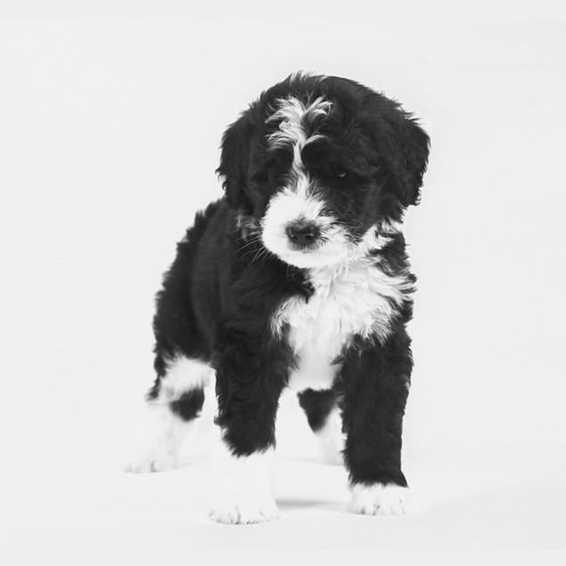 Black & White Bernedoodle