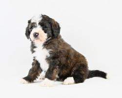 Bernese Mountain Dog/Poodle