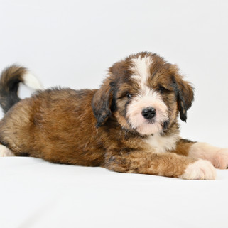 Sable & White Bernedoodle