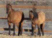 carter wild horse, wild mustangs, primitive dun mustangs, primitive dun characteristics, preserve protect wild horses