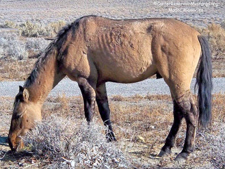 Carter Reservoir Stallion, Thin Scrounging For Food