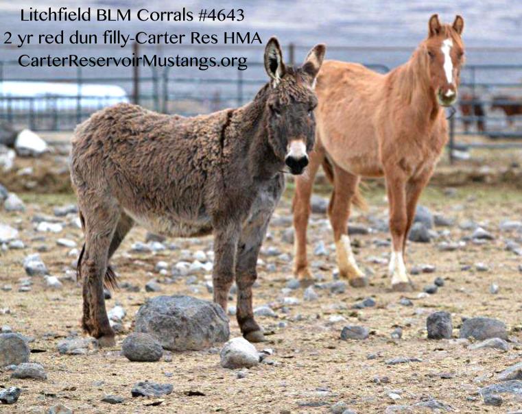 #4643 2 yr Red Dun Carter Reservoir Mustang Filly