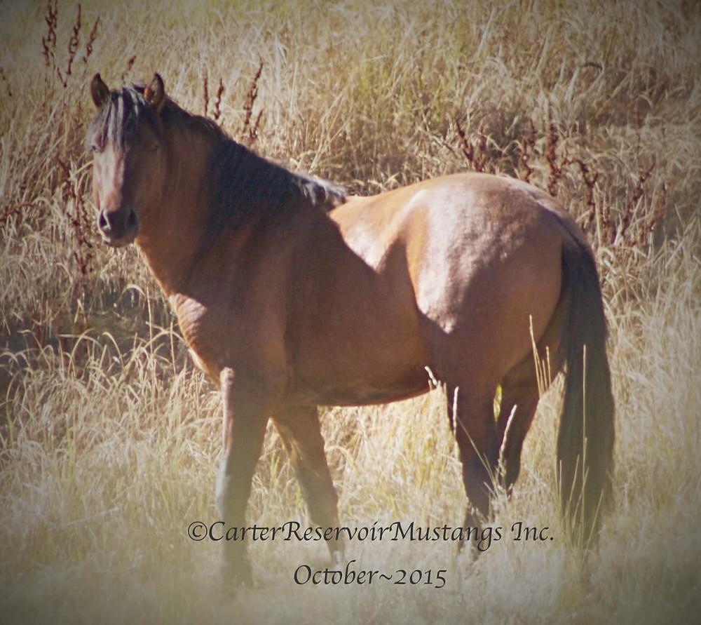 Bay Carter Reservoir stallion 2015