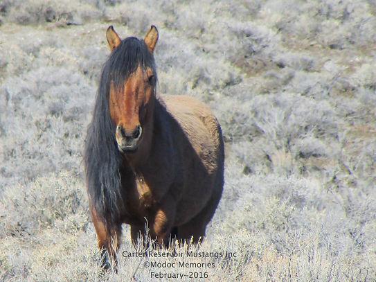 carter reservoir mustang stallion primitive dun Spanish horse carter registry