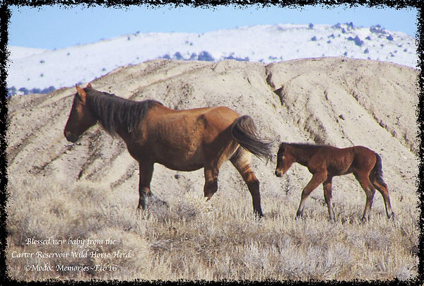 carter reservoir mustang registry wild horses with babies dun mustang