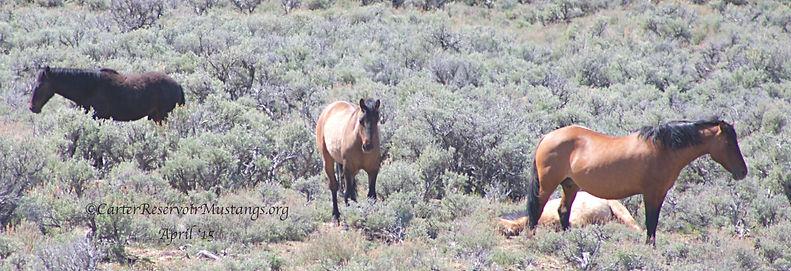 Carter Reservoir wild horse family band, mustangs, wild horses