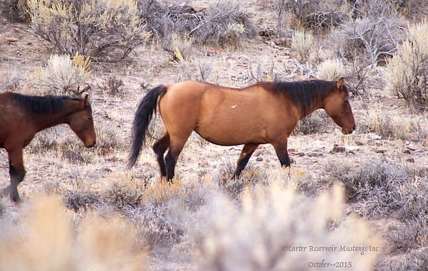 Iberian dun characteristic markings carter reservoir dun wild horse