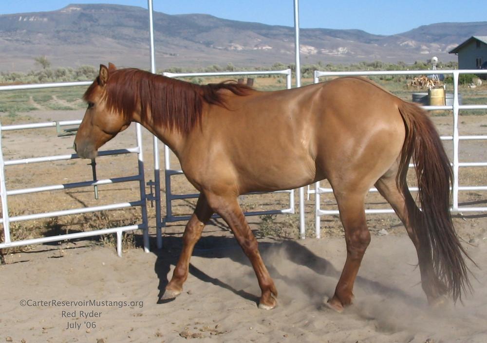 Carter Reservoir mustang stallion, Red Ryder