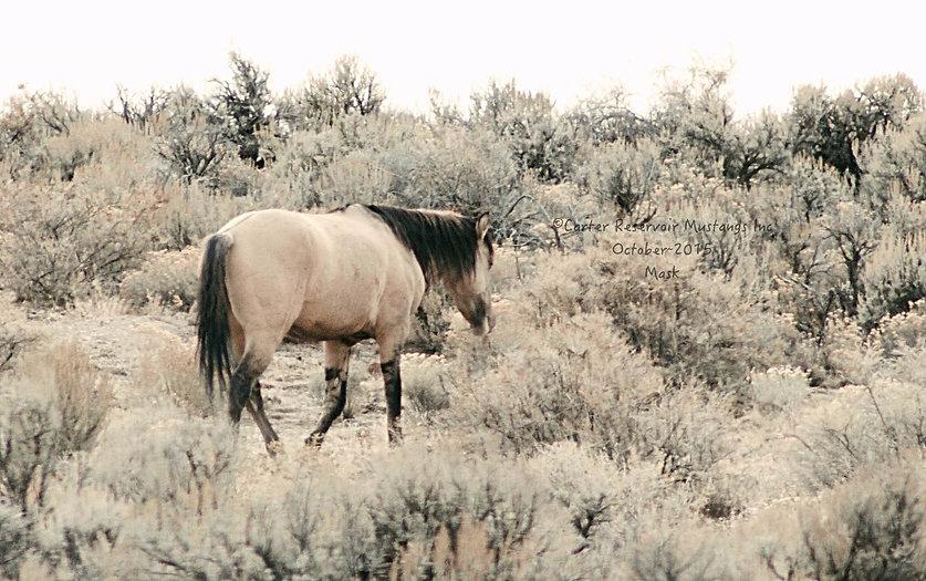 Wild horses of the high desert Cedarville Ca Carter Reservoir Mustang Mask