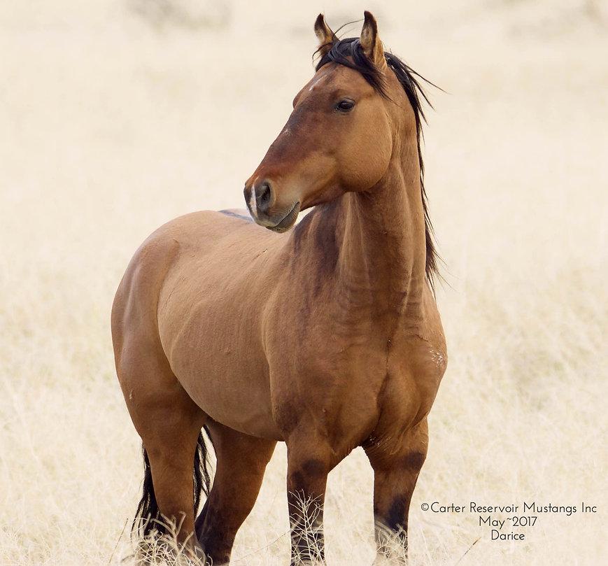 primitive dun characteristic markings, Spanish Iberian Mustang, wild stallion