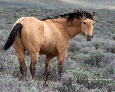 ©Carter_Reservoir_Mustangs_Inc_'15_Daric