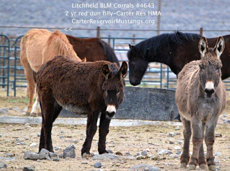 #4643 Red Dun 2 yr Filly, Carter Res Mustang