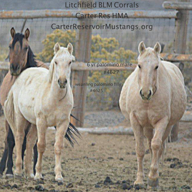 Wnlg Palo Filly #4625 sm wht lft hind #4627 p mare.jpg