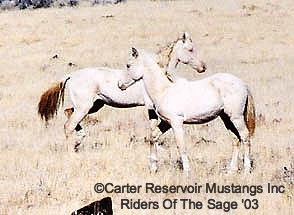 Carter Reservoir wild horses with unusual color.
