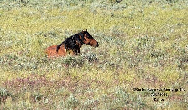 Wild horse stallions need rest too.