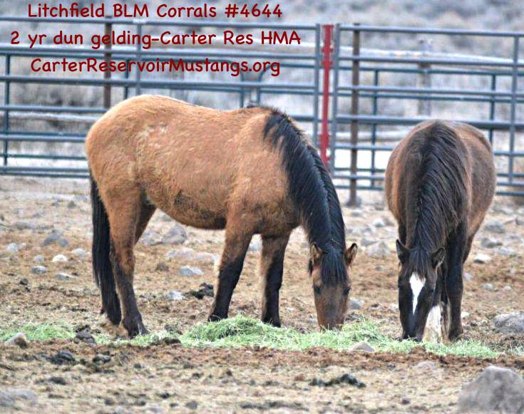 #4644 2 yr Dun Gelding-Carter Reservoir Mustangs