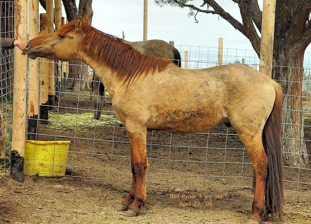 Red Ryder'03 stallion