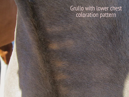Grullo Carter Reservoir Wild Horse Dun coloration on chest