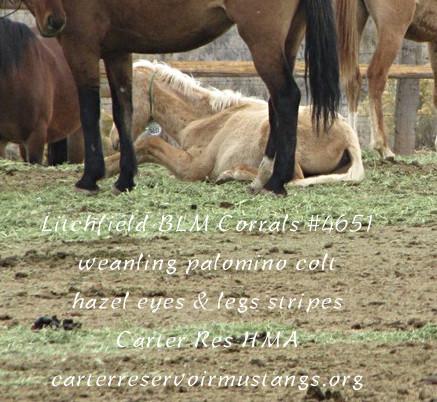 Wnlg palo colt #4651 hzl eyes & lg stripes.jpg