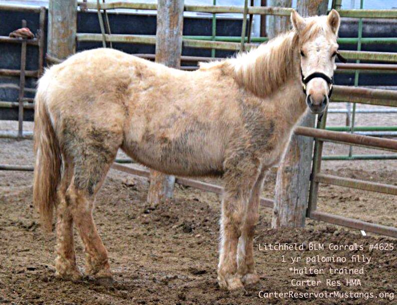 #4625 1 yr Carter Reservoir Mustang Palomino Filly