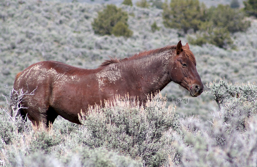 Carter Reservoir Wild stallion, wild mustang, horse