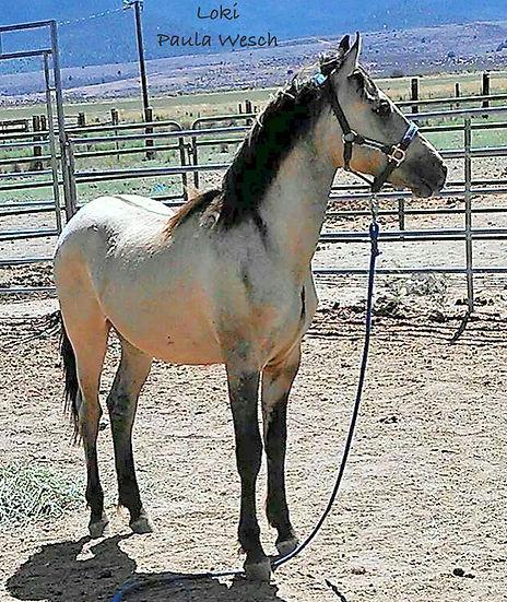 branded adopted carter reservoir mustang, wild horse, adopted mustang, blm mustang, carter reservoir mustang