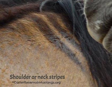 primitive shoulder neck stripes Carter Reservoir Wild Horse, Carter Reservoir Mustang
