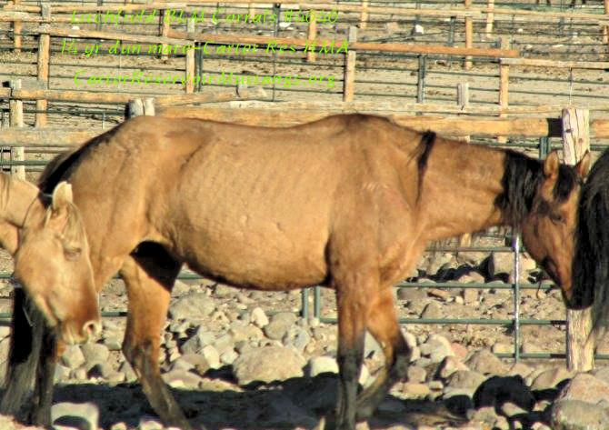 14 yr dun mare#4646 no wht.jpg