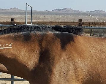 bay dun with shoulder markings