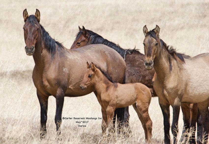 primitive dun markings, dun factor, California wild horse herd, Spanish Mustangs
