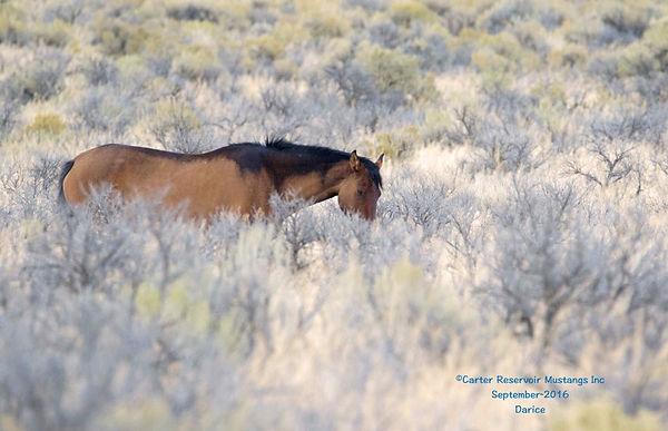 California wild mustang mare with stunning primitive dun markings.