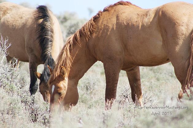 mustang stallion, wild horse, Carter Wild Mustang