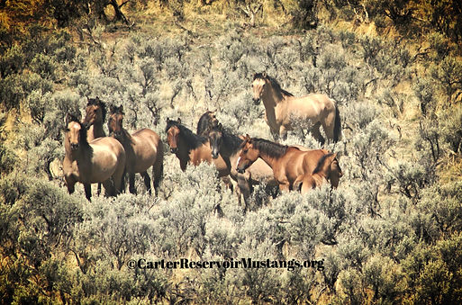wild horse herd from the Carter Reservoir HMA