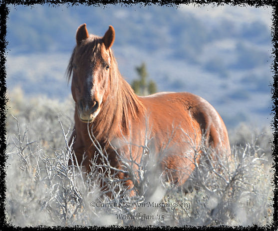 Regal Carter Reservoir Mustang senior stallion Mahogany