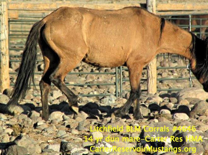 14 yr dun mare-no wht #4647 012 .jpg