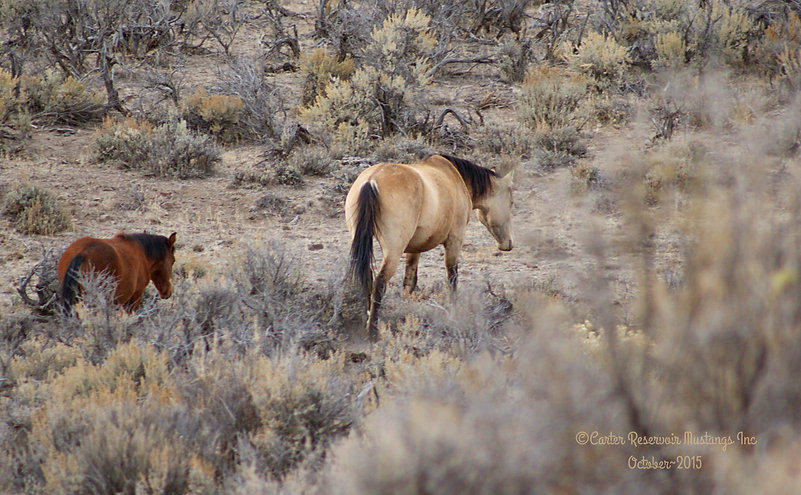 Could this be Carter Reservoir wild horse stallion Mask's dam?