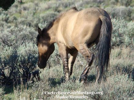 primitve dun leg stripes dorsal stripes carter reservoir mustang wild horse