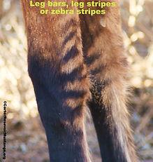 Carter Wild Hoses, zebra bars, tiger stripes, leg bars, garters Carter Reservoir Mustangs