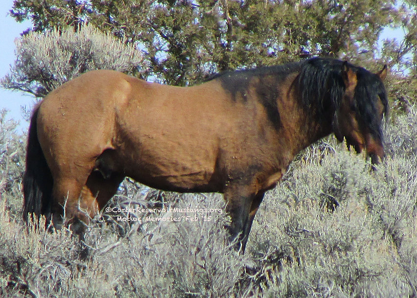 primitive Spanish Iberian Carter Reservoir wild horse stallion