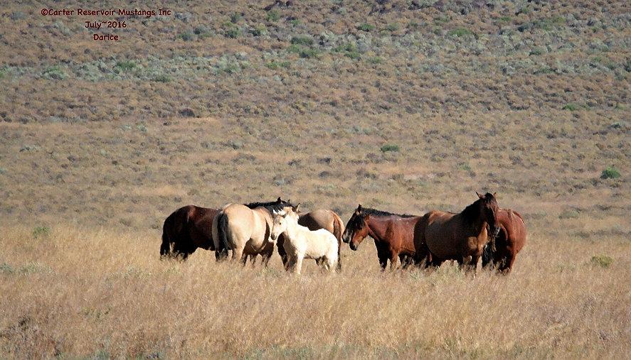 Carter Reservoir wild horse family band
