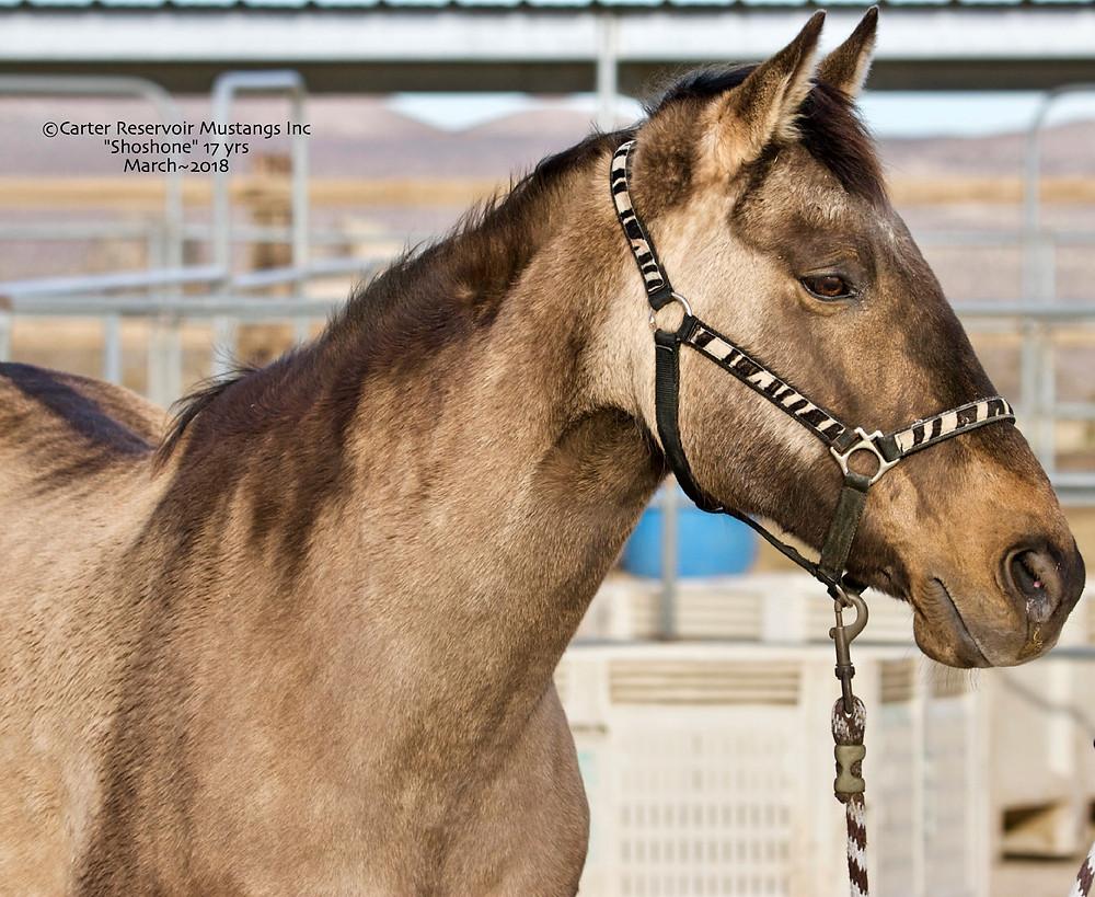 Shoshone showing her Amber eyes and primitive dun markings