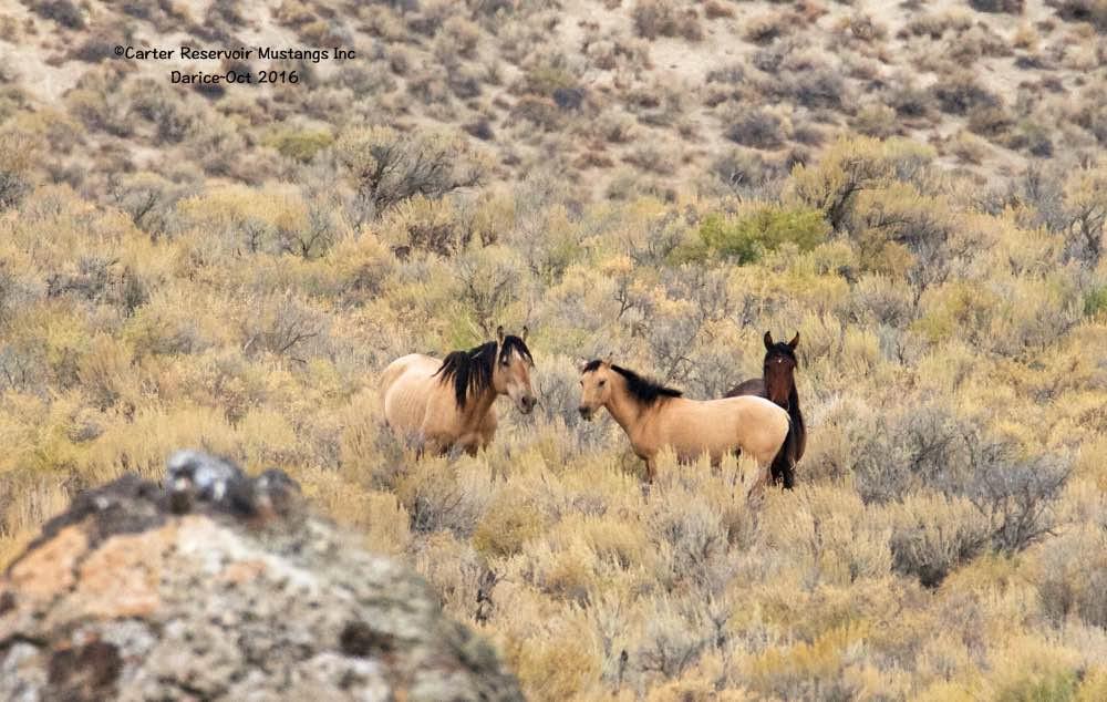 Carter wild horses, mustang horse, wild horses, Carter Reservoir mustang family band