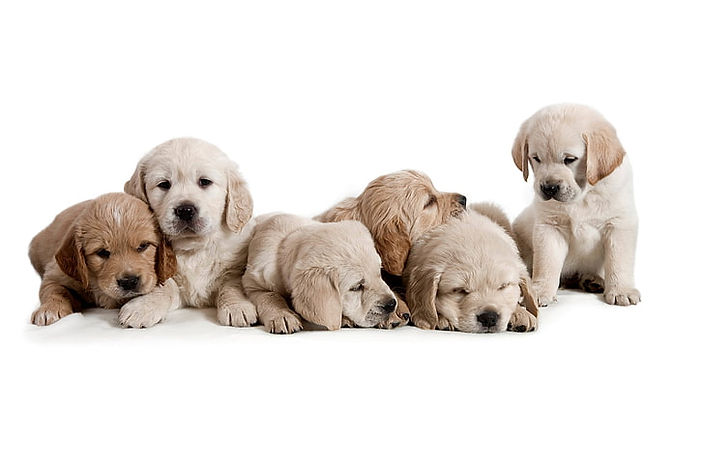 dogs-puppies-white-background-cubs-wallp