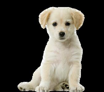 labrador-retriever-siberian-husky-pug-pu