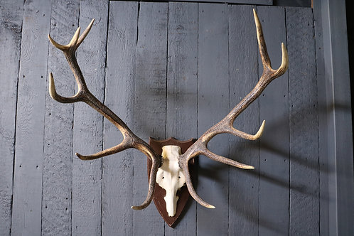 Deer Skull and Antlers on Shield