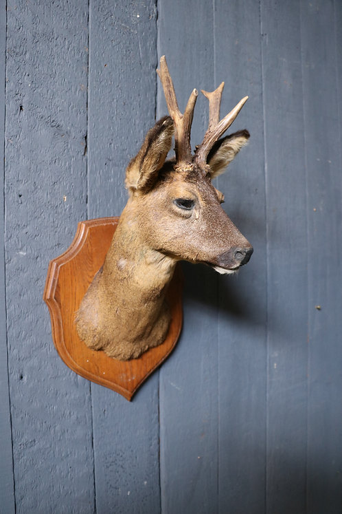 C20th Taxidermy of a Young Deer