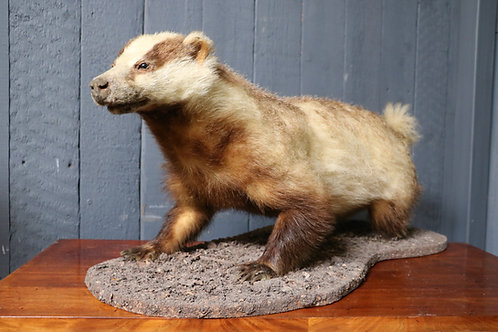 C1910 Taxidermy Badger on Naturalistic base
