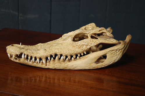 C20th Crocodile Skull