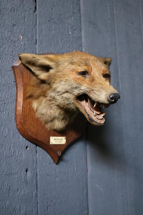 C20th Taxidermy Study of a Fox